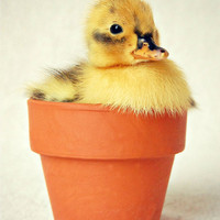 Duckling, Baby Duck, Terra Cotta Pot, Nursery, Baby Animal, 5x7 Print, 'Li'l Sprout'