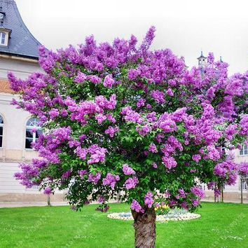 100 PCS/BAG lilac seed purple Japanese Lilac (Extremely Fragrant) clove flower seeds lilac trees outdoor plant for home garden