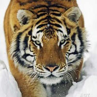 Male Siberian Tiger in Snow Photographic Print by Andy Rouse at Art.com