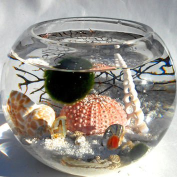 Marimo terrarium in the pink sea urchin sea, live Japanese marimo terrarium with abalone shells