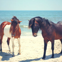 Horse Art Beach Photograph Assateague Ponies blue ocean seascape home decor