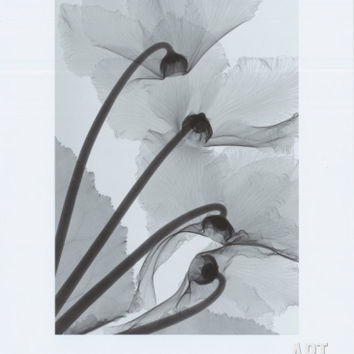 Cyclamen Study IV Art Print by Steven N. Meyers at Art.com