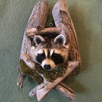 Taxidermy Raccoon Shoulder Mount