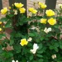"Yellow "" Sunny "" Knockout Rose"