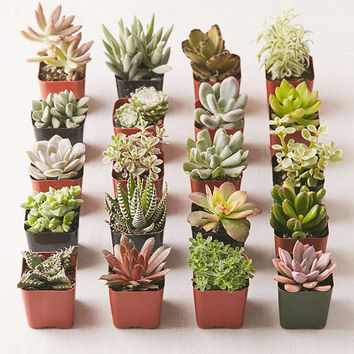 "2"" Live Assorted Succulents - Set of 20 