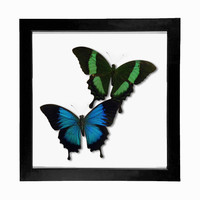 Papilio Butterfly Display