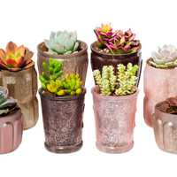 "3-5"" Succulent Arrangement Kit, Seeds & Growing Kits"