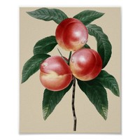 Nectarine Fruit Botanical Garden Art Poster