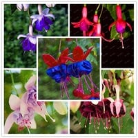 300 Pcs / Bag Fuchsias Seeds, mixed White,yellow,blue colors Potted Flowers, DIY Planting Flowers,Home and garden Decoration