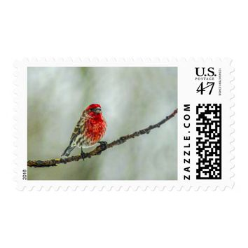 Purple Finch on a Tree Branch in Winter Red Bird Postage