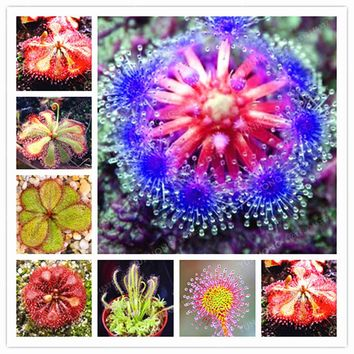 Hot Sale  Carnivorous Plants Potted Plant Seeds Flytrap Seeds Radiation Protection Plant For Home Garden 100 PCS