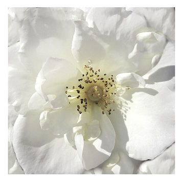 White Rose Blossom, , Minimalist / Macro / Modern / Graphic / Organic, Sensuous, Romantic, Symbol Of Purity & Marriage, FREE SHIPPING USA