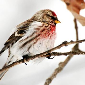 Winter Redpoll by Christina Rollo on Crated