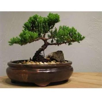 9GreenBox - Juniper Bonsai in Japanese Ceramic Pot