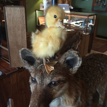 Taxidermy Derpy Duckling