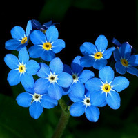 Heirloom 600 Seeds Forget Me Note Myosotis Alpestris Sea Sky Blue Perennial Garden Flower S031