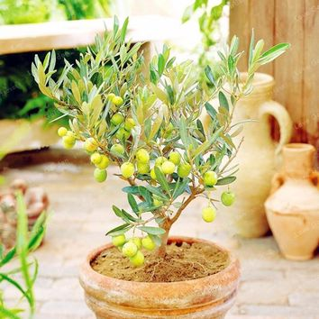 10PCS Rare Olive Bonsai Tree (Olea Europaea) Seeds Bonsai Fresh Exotic Tree Seeds Mini Olive Tree Olive Bonsai Garden Supplies