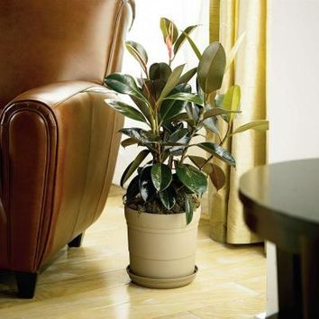 Rubber Plant-RUBPLT - The Home Depot