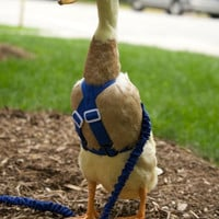 Walking Harness SIZE for pet Ducks, Chickens, and Geese