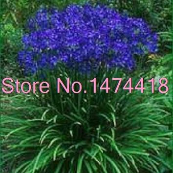 25+seeds/pack Agapanthus Blue Lily Of The Nile Flower Seeds / Perennial Garden Bonsai