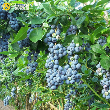 A Pack 200 Pcs Blomidon Blueberry Seed Windowsill Garden Terrace Roof Fruit Seed potted bonsai Tree Plant Vaccinium Seed