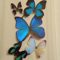 mounted blue morphos