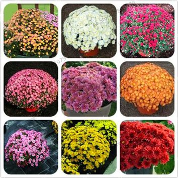 Lowest Price!100pcs/bag Ground-cover chrysanthemum seeds, chrysanthemum perennial bonsai flower seeds daisy potted plant for hom