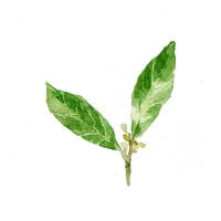 Bay Laurel  art Print of original watercolor painting of Bay Leaves  in shades of green, Botanical herb,, cottage chic, kitchen decor