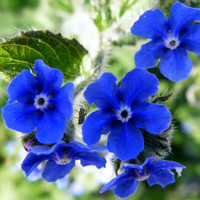 Heirloom 100 Seeds Anchusa Dyer's Bugloss Summer forget-me-not Alkanet Blue Garden Flower B0008