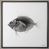 Nick Veasey X-ray Photography: John Dory