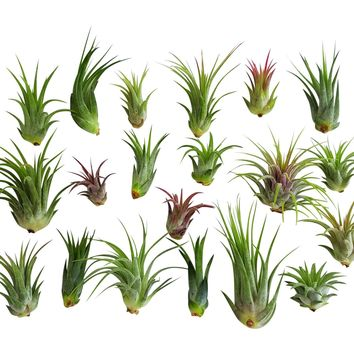 20 pc Air Plant Ionantha Tillandsia Lot