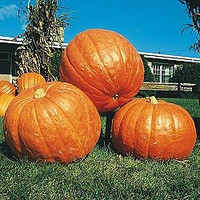 Pumpkin BIG MAX Great Heirloom Vegetable Bulk 1 Lb Pound of Seeds
