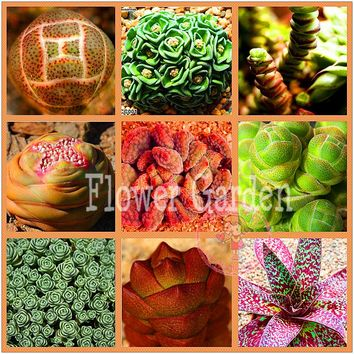 50 Rare Mix Lithops Seeds Living Stones Succulent Cactus Organic Garden Bulk Seed,#6S99HQ