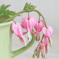 Pink Bleeding Hearts, Flower Art,  Victorian Flowers, Flower Photography, Home Decor, Shabby Chic, Floral Still Life, Pink, Green, Tea Room