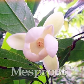 10PCS Hot Selling Night Fragrant Magnolia Flower Seed, Magnolia Bonsai Plant Seed Perfume Plant Home Garden Free Shipping
