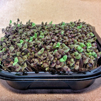 Dark Opal (Purple) Basil Microgreen Wellness Kits, Grow Your Own 2 Crops of Fresh & Live Microgreens, Harvest and Consume Right in Your Home