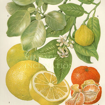 Vintage Botanical Print Antique GRAPEFRUIT 87, plant print botanical print, bookplate art print, citrus fruit plants plant wall
