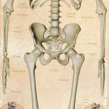 Human Anatomy Skeletal System Poster 21x62