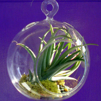Air Plant Hanging Terrarium Clear Glass Orb Globe Kit with Moss rock or sand