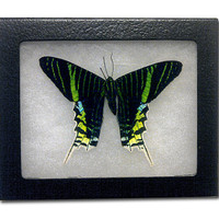 Real Green Banded Unrania Moth Riker Display