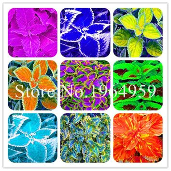 200pcs Janpanse Bonsai Coleus, Rainbow Foliage Plants Perfect Color Beautiful Dragon Flower Seedsplants Balcony Garden Semente