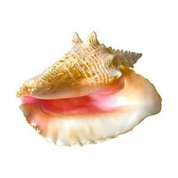 Pre-owned Queen Conch Shell