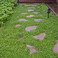 Creeping Speedwell Ground Cover Seeds (Veronica Repens) 50+Seeds