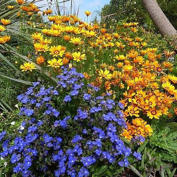 Bugloss Blue Angel Flower Seeds (Anchusa Capensis) 50+Seeds
