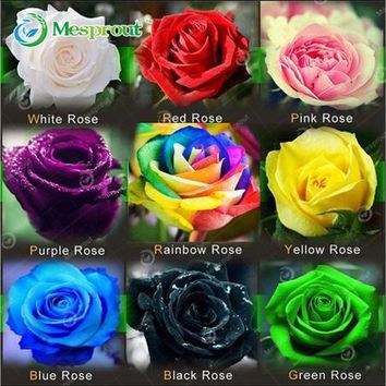 50PCS Flower Seed Holland Rose Seed Lover Gift Orange Green Rainbow RARE 24 Color To Choose DIY Home Gardening Flower