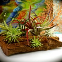 "Driftwood Mount Only or Kit with Plants ~ Driftwood is approximately 10""W by 5""H x 2.5"" inches ~ Option with 7 Air Plants not glued #5"