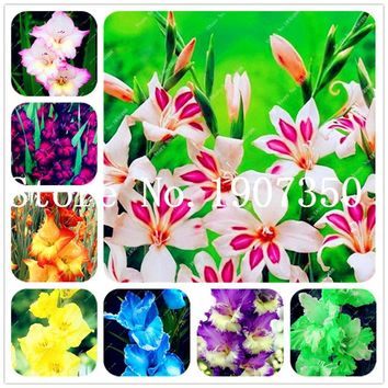 100 Pcs Different Perennial Gladiolus Flower Bonsai, Rare Sword Lily Flower Pot Plant for home garden planting Purify The Air