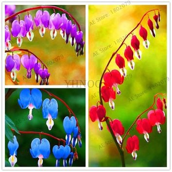 103 heart orchid seeds Dicentra Spectabilis seeds Bleeding Heart classic cottage garden plant, seeds for flower pot planters.