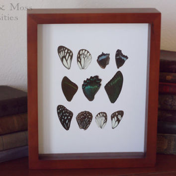 Butterfly wing shadow box. Curious Decor.