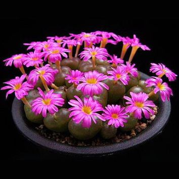 Pink Lithops Flowers Seeds Bunny Ears Stone Flower Seeds Indoor Bonsai Plants Home Garden Pot 120PCS